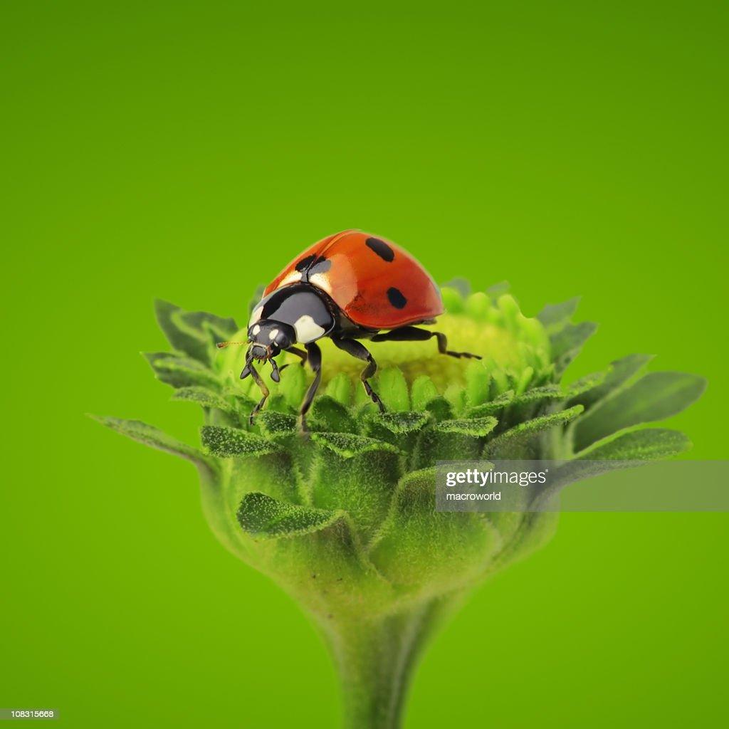 Ladybug on flower : Stock Photo