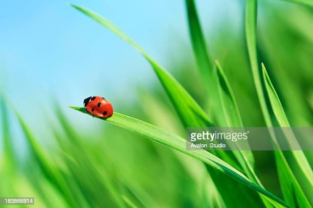 Joaninha na grama