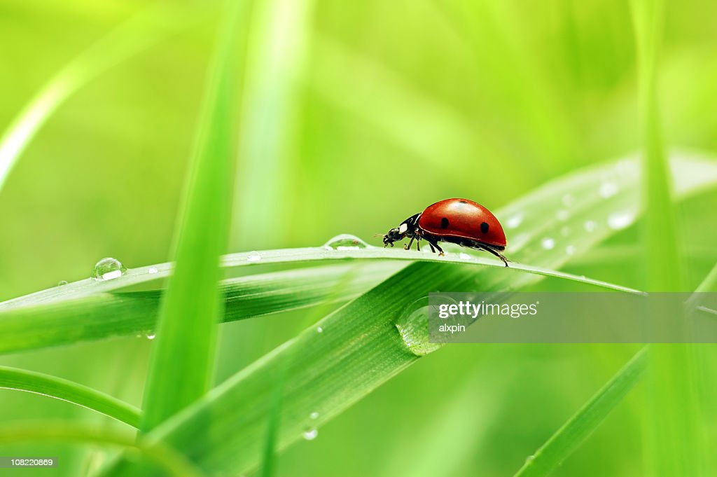 Ladybug on grass with Drops : Stock Photo