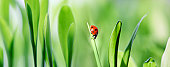 XXXL ladybug on green grass