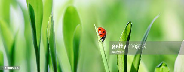 XXXL ladybug on green grass