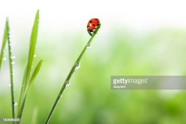ladybug on green grass