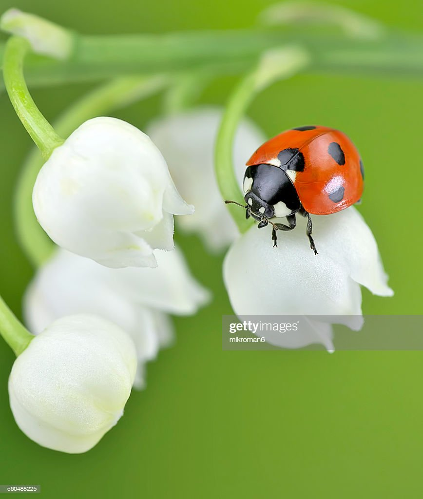 ladybug on lily of the valley flower stock photo getty images