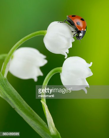 ladybug on lily of the valley flower stock photo  getty images, Beautiful flower