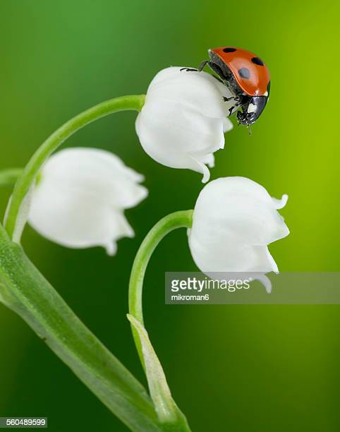Ladybug on Lily of the valley flower