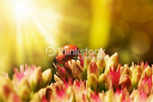 Ladybug on morning glow : Stock Photo