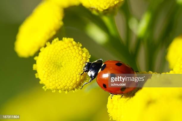 Ladybug on Rainfarn
