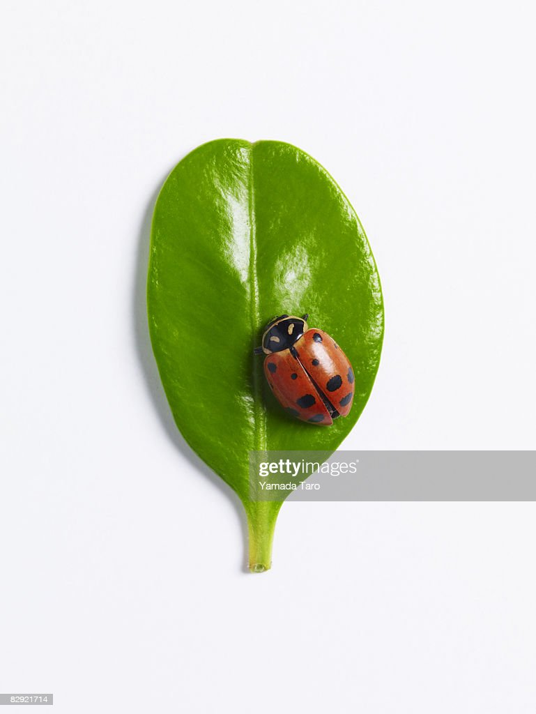 Ladybug on round leaf : Stock Photo