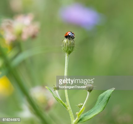 Ladybug on top of plant : Foto stock