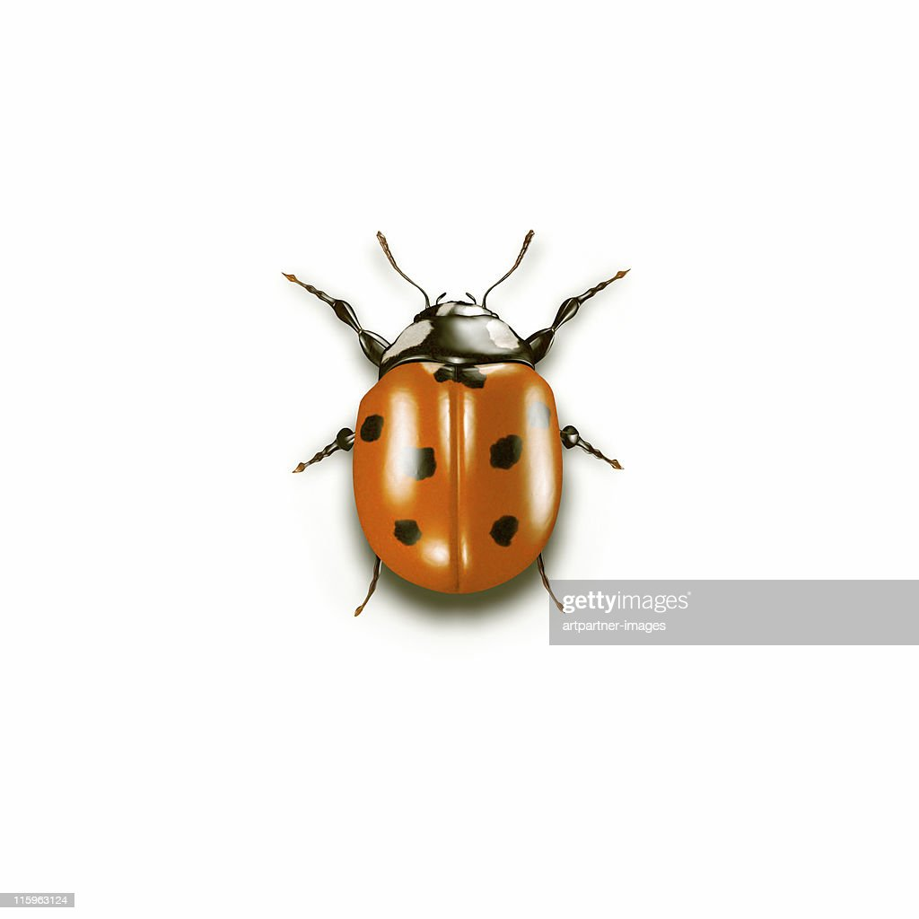 Ladybug on white Background : Stock Photo