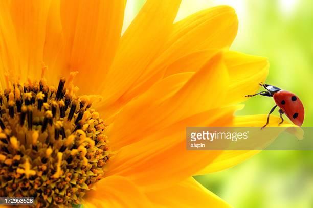 Marienkäfer auf gelbe Blume