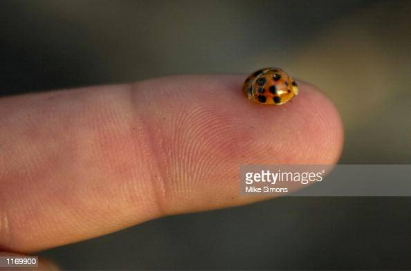 A ladybug sits on a finger October 25 2001 in Cincinnati Ohio The department of Agriculture introduced the Asian ladybeetles into the United States...