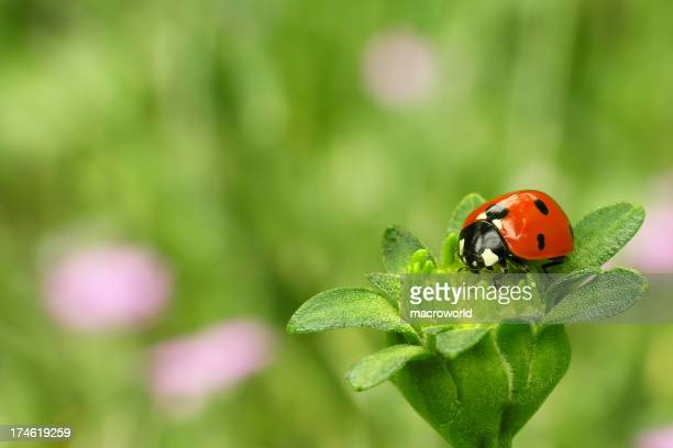 Ladybug sitting on a green flower