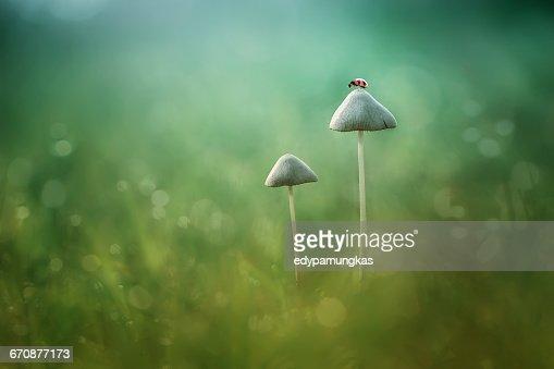 Ladybug sitting on mushroom, Jombang, East Java, Indonesia