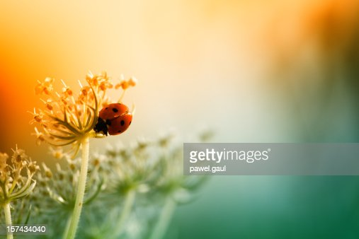 Ladybug sitting on top of wildflower during sunset