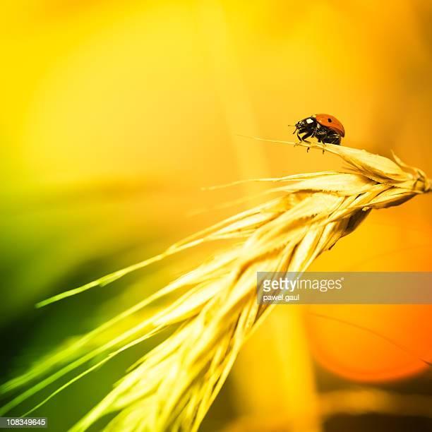Coccinella seduta su grano nel tramonto