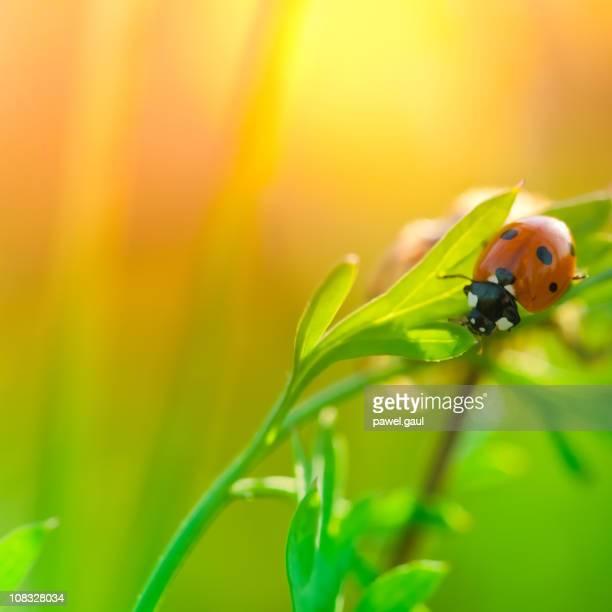 Marienkäfer sitzt auf wildflower Blatt bei Sonnenaufgang
