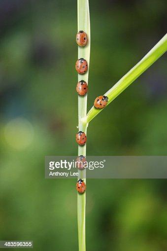 Ladybug taking fork in the road on leaf