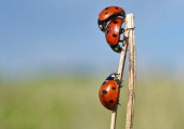 Ladybugs are seen on May 30 2014 at a field near Jacobsdorf Germany AFP PHOTO / DPA / PATRICK PLEUL /GERMANY OUT