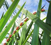 Ladybugs crawling up leaf