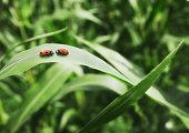 Ladybugs face to face on leaf