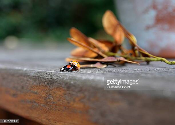 ladybugs mating on an old garden table