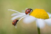 Ladybugs on an oxeye daisy, Biei, Hokkaido, Japan