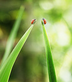 Ladybugs on tips of leaves