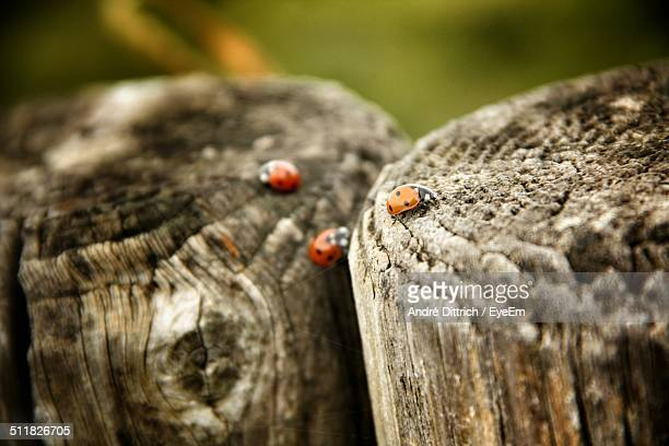 Ladybugs on tree stumps