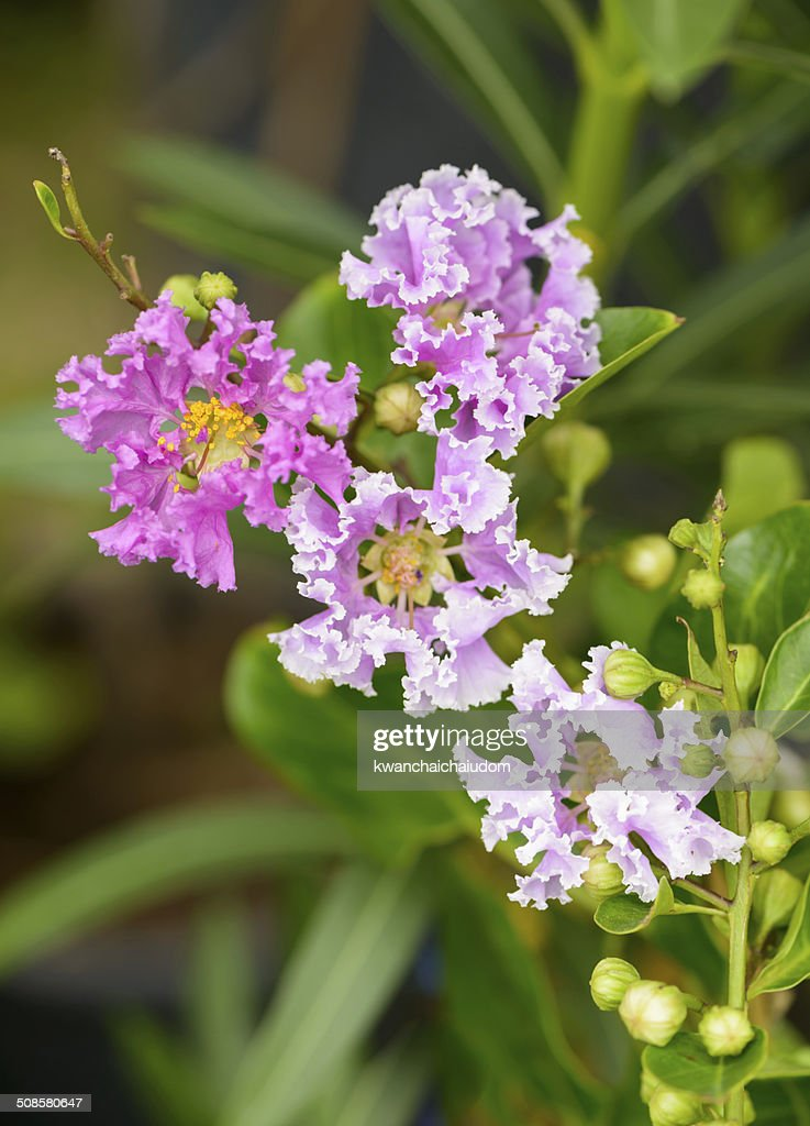 indica Lagerstroemia Blume : Stock-Foto