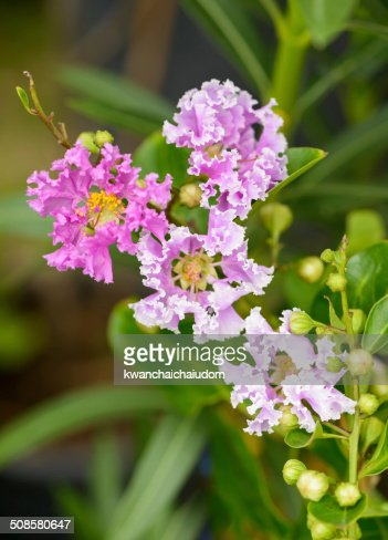 Lagerstroemia indica flower : Stock Photo