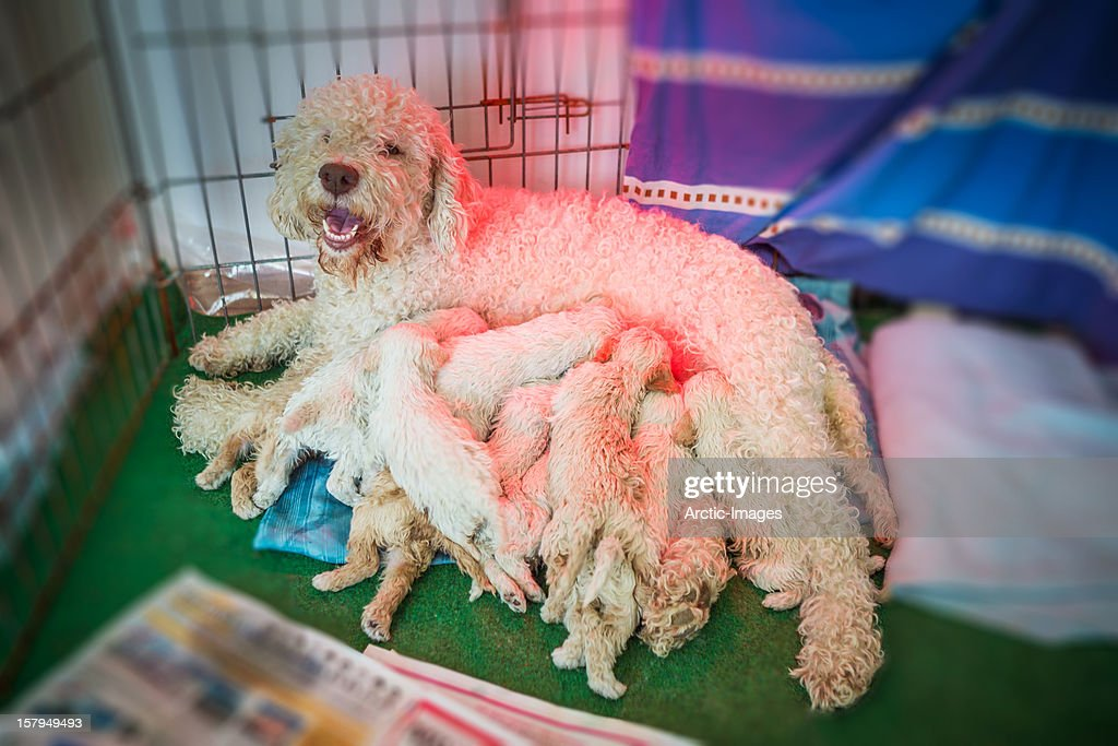 Lagotto Romagnolo mother nursing her puppies : Stock Photo