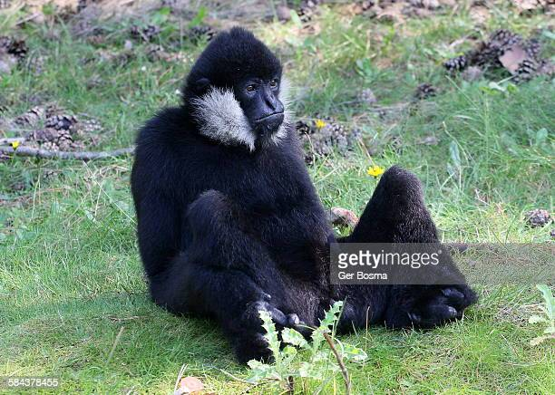 Laid-back northern white cheeked gibbon