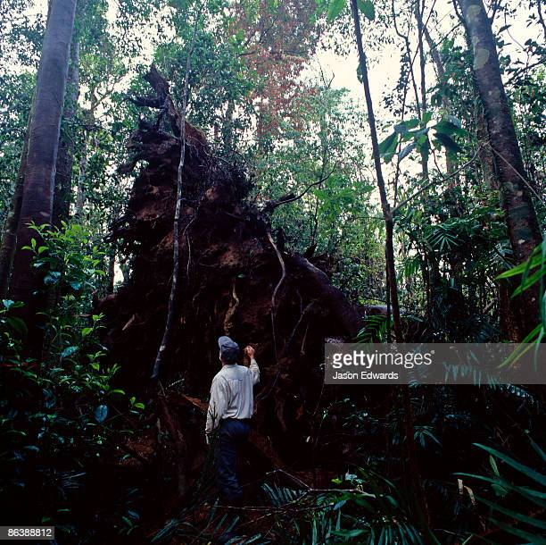 A massive rainforest Fig tree felled by Category 5 Cyclone Larry.