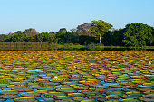 Lake covered with Victoria amazonica giant water lilies at Porto Jofre in the northern Pantanal Mato Grosso province in Brazil