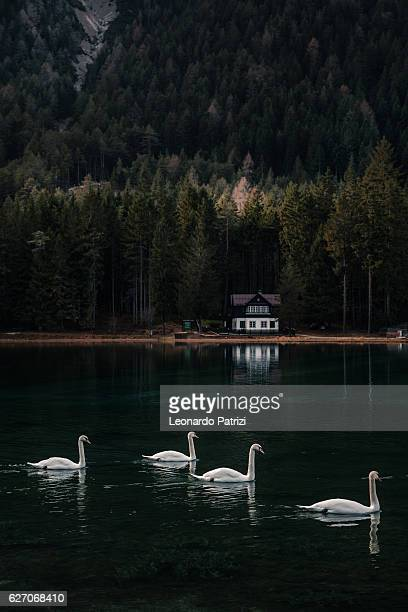 Lake Garda in Italy - Swan swimming into the lake
