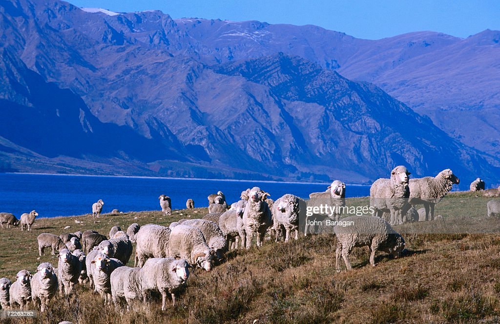 lake Hawea Merino sheep, Southern Alps, New Zealand : Stock Photo