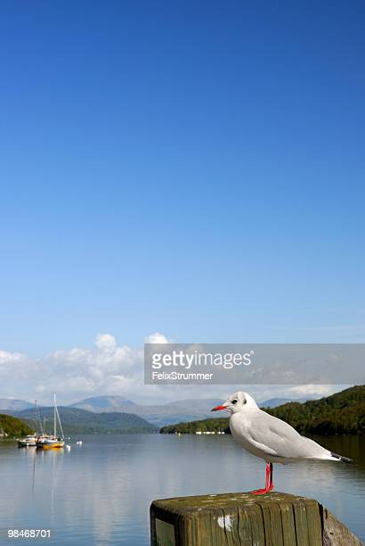Lake Windermere Gull