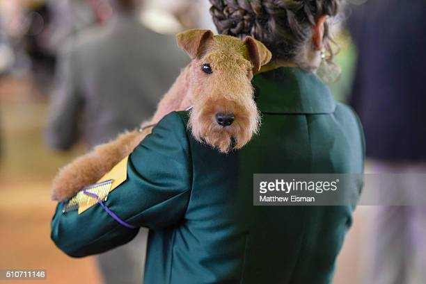 Lakeland Terrier waits in the grooming area during day two of competiton at the Westminster Kennel Club 140th Annual Dog Show at Pier 92/94 on...
