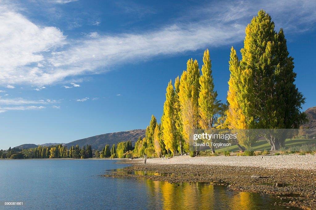 Lakeside poplars in autumn, Roys Bay, Wanaka
