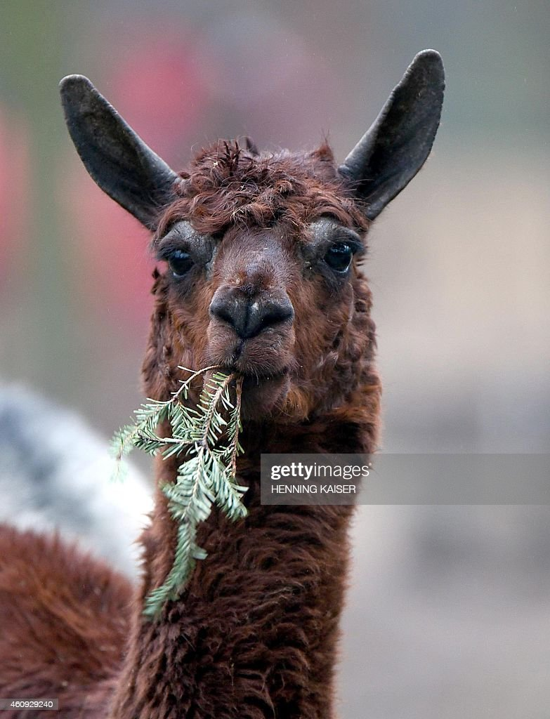 A lama eats a Christmas trees on December 31 2014 in a zoo in Cologne The zoo feeds animals with unsold Christmas trees AFP PHOTO / DPA / HENNING...