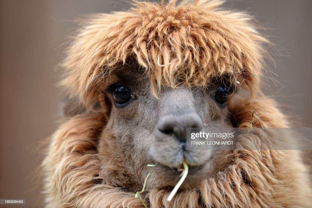 A lama eats at the Hellabrunn zoo in Munich, southern Germany on April 3, 2013. AFP PHOTO / FRANK LEONHARDT GERMANY OUT