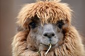 A lama eats at the Hellabrunn zoo in Munich southern Germany on April 3 2013 AFP PHOTO / FRANK LEONHARDT GERMANY OUT