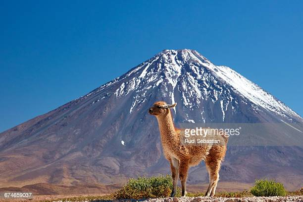 Lama in front of Licancabur volcano