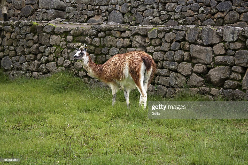 Lama in Peru : Stockfoto
