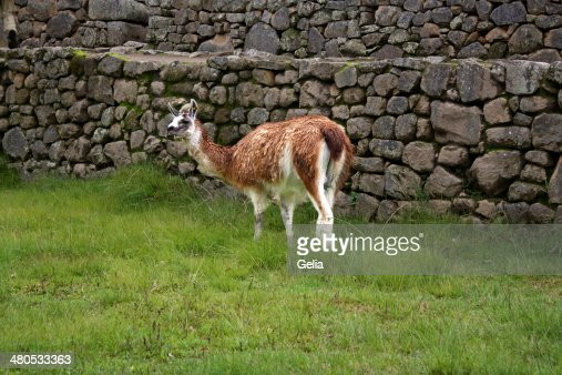 Lama in Peru : Stock-Foto