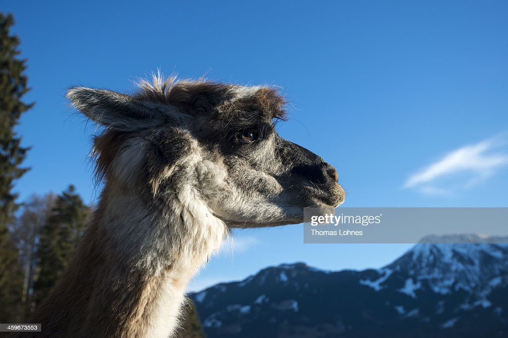 Lama looks to the mountains of the Bavarian Alps on December 28 2013 near Oberstdorf Germany Lama trekking operator Klaus Eberle organizes the tours...