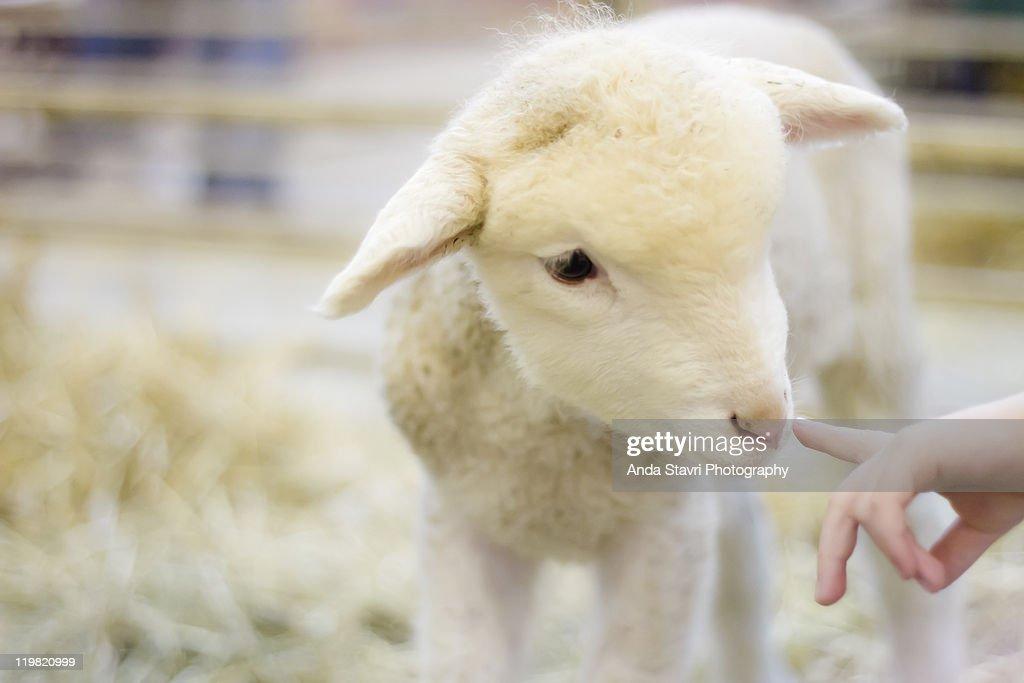 Lamb at Denver Stock Show