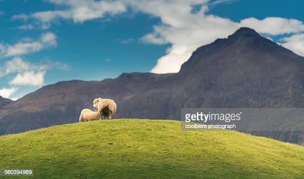 Lamb fed on grass hill