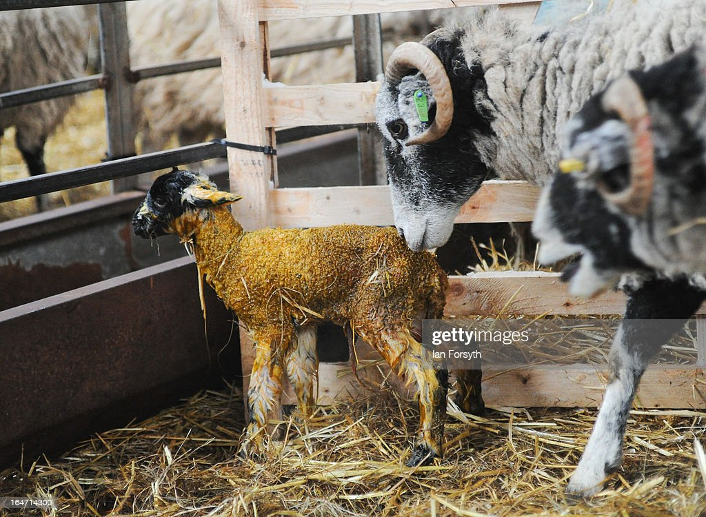 A lamb finds its feet only minutes after being born at Bleathgill Farm in the hamlet of Barras on March 27, 2013 near Kirkby Stephen, Cumbria, England. Stuart, 23, runs Bleathgill Farm with his father Wilf and as heavy snow continues to fall, extra effort is needed to look after and protect their Swaledale sheep from the cold. Across the UK, farmers are battling to save livestock after heavy snow and freezing temperatures has left thousands of sheep and cattle stuck in the fields with no access to food and fresh water.
